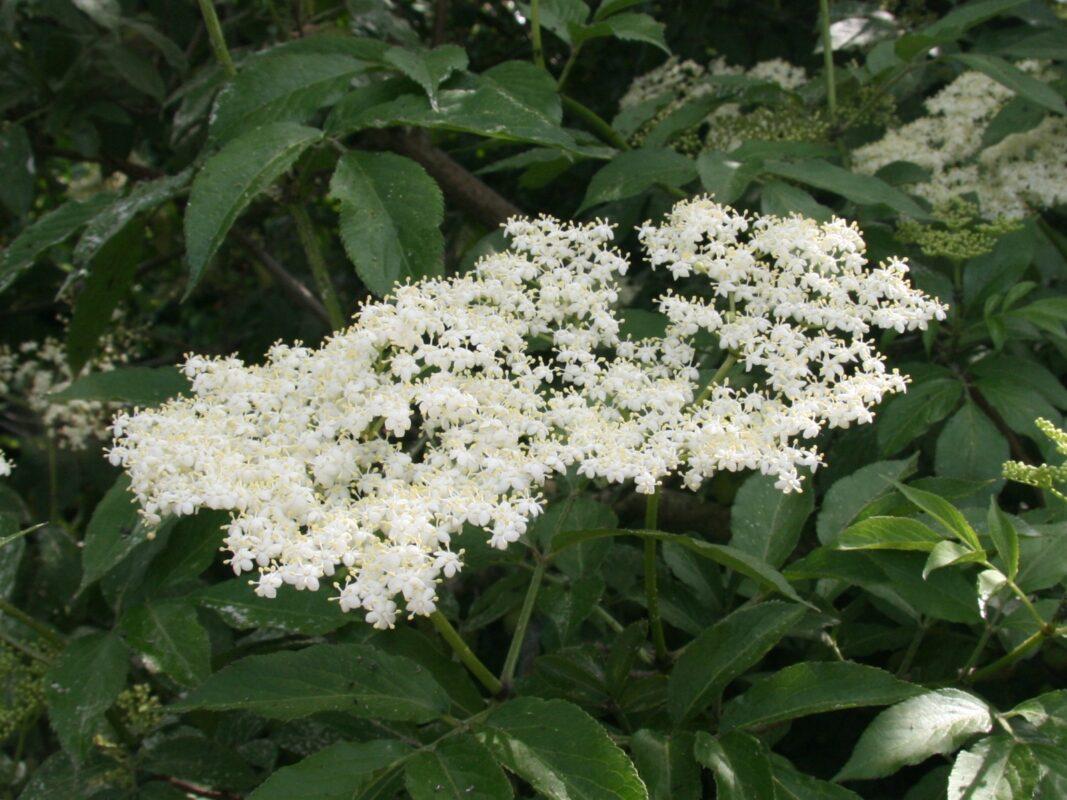 Elderflower sambucus nigra for making elderflower cordial