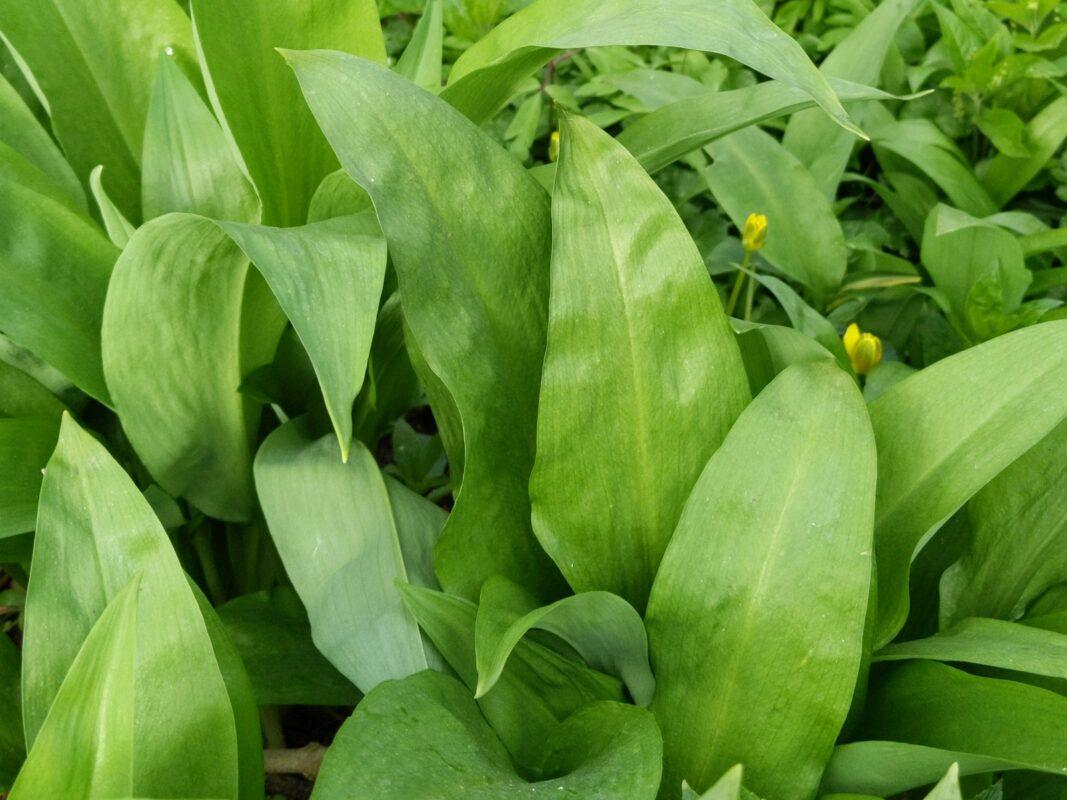 Wild garlic allium ursinum with distinct lanceolate leaves