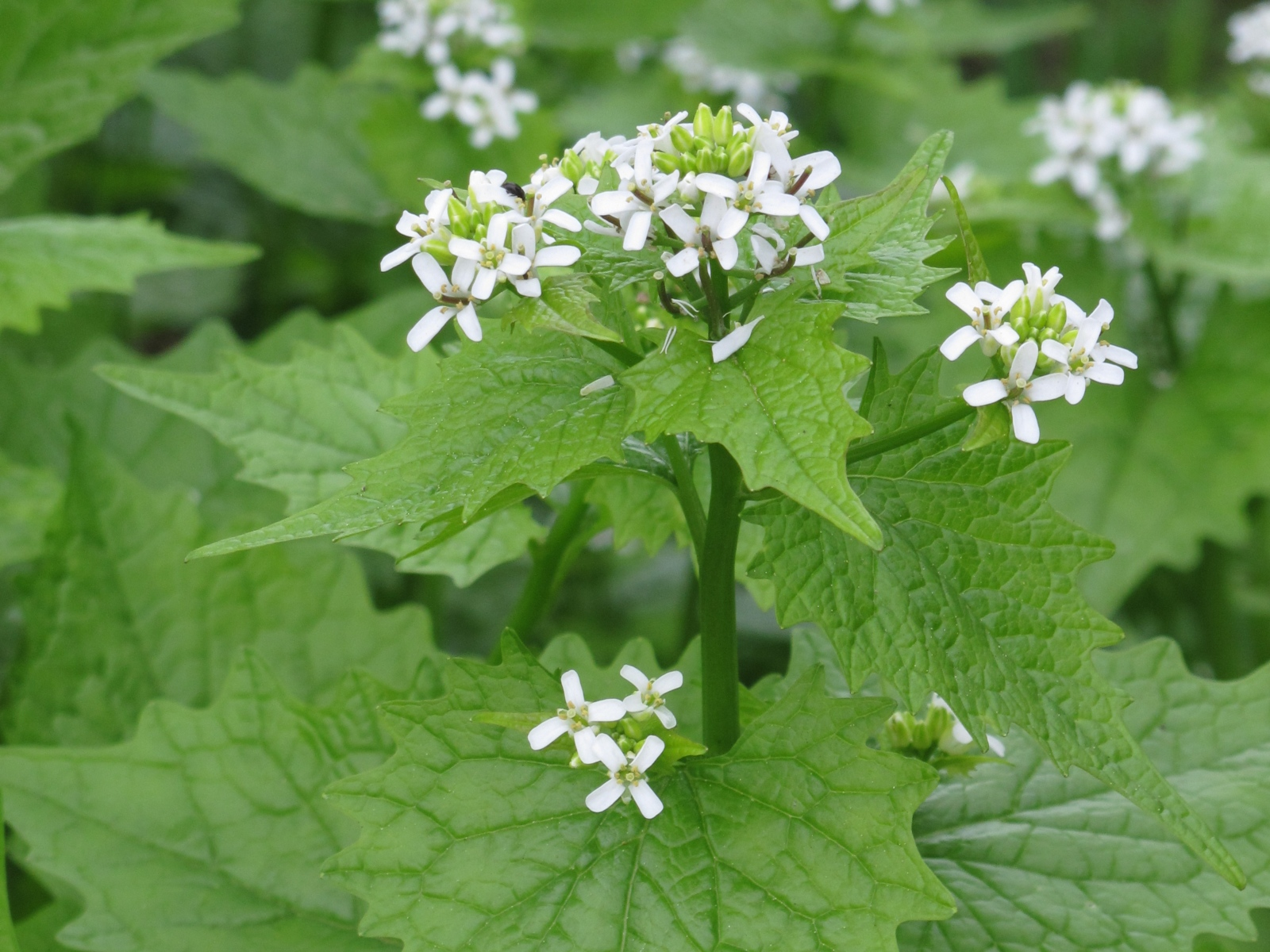 Jack in the hedge or garlic mustard in flower