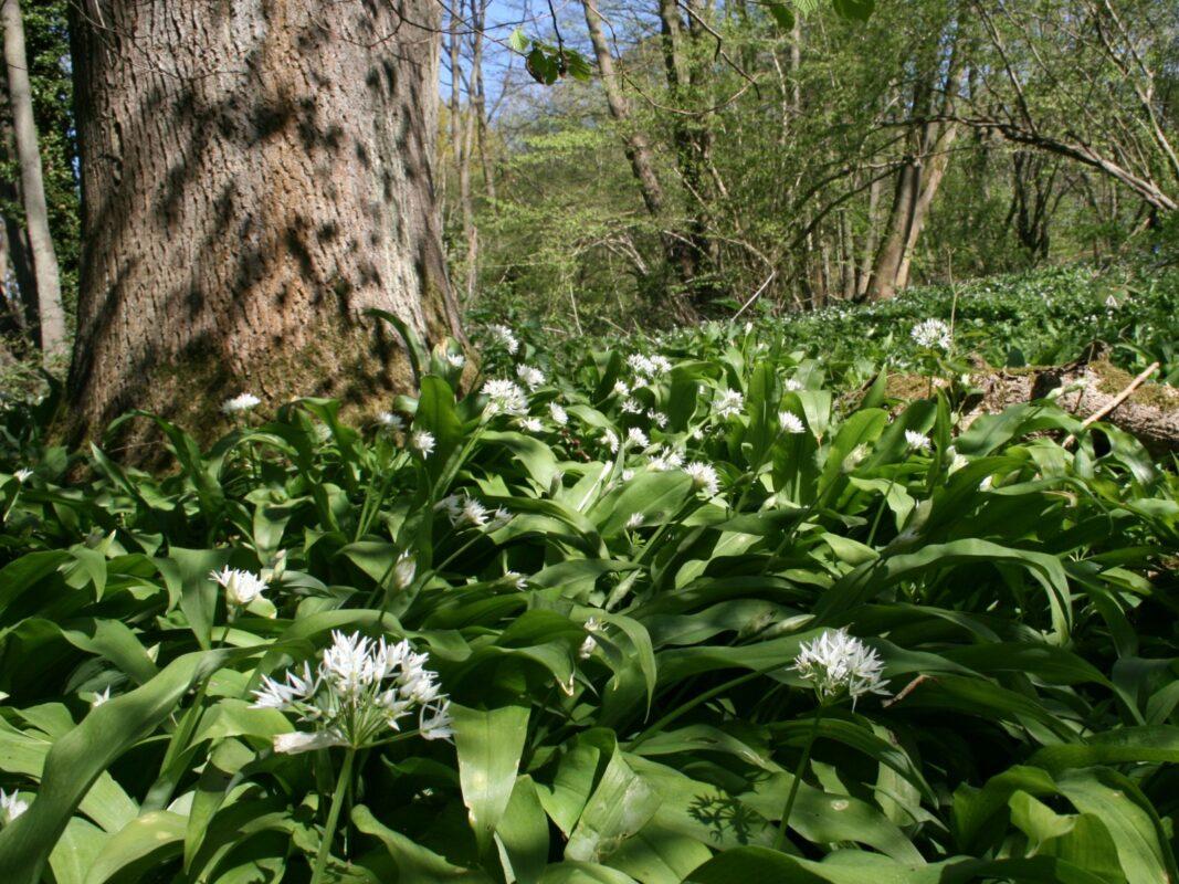 Allium ursinum, wild garlic, growing in a wet woodland.